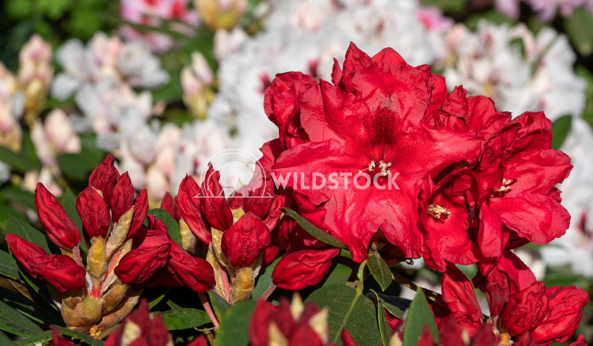 Rhododendron Hybrid Rabatz 2 Alexander Ludwig Rhododendron Hybrid (Rhododendron hybride), close up of the flower head in