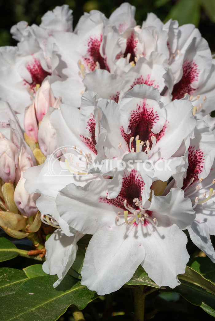 Rhododendron Hybrid Picobello 3 Alexander Ludwig Rhododendron Hybrid (Rhododendron hybride), close up of the flower head