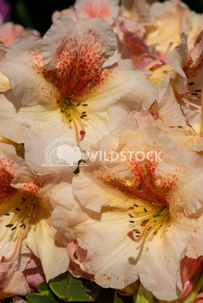 Rhododendron Hybrid Peggy 1 Alexander Ludwig Rhododendron Hybrid (Rhododendron hybride), close up of the flower head in