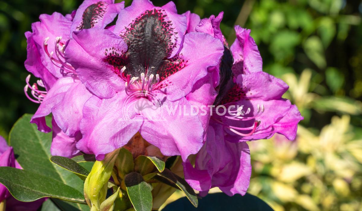 Rhododendron Hybrid Kangaroo 4 Alexander Ludwig Rhododendron Hybrid (Rhododendron hybride), close up of the flower head