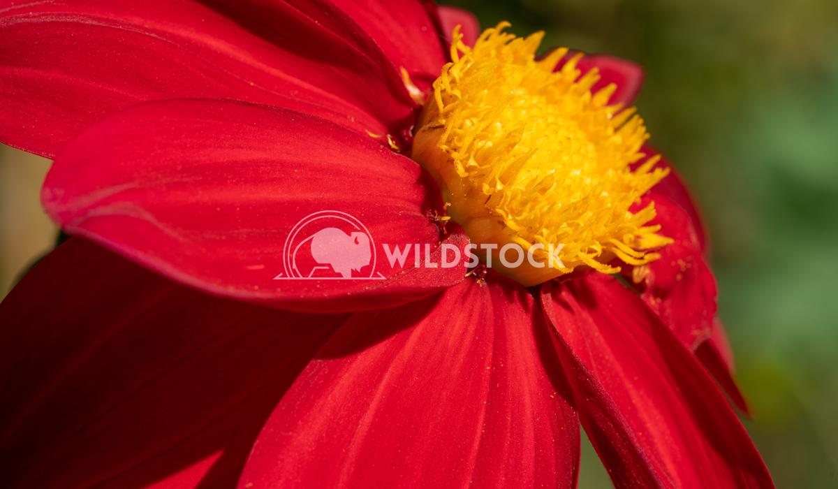 Dahlia, Dahlia 9 Alexander Ludwig Dahlia (Dahlia), flowers of summer