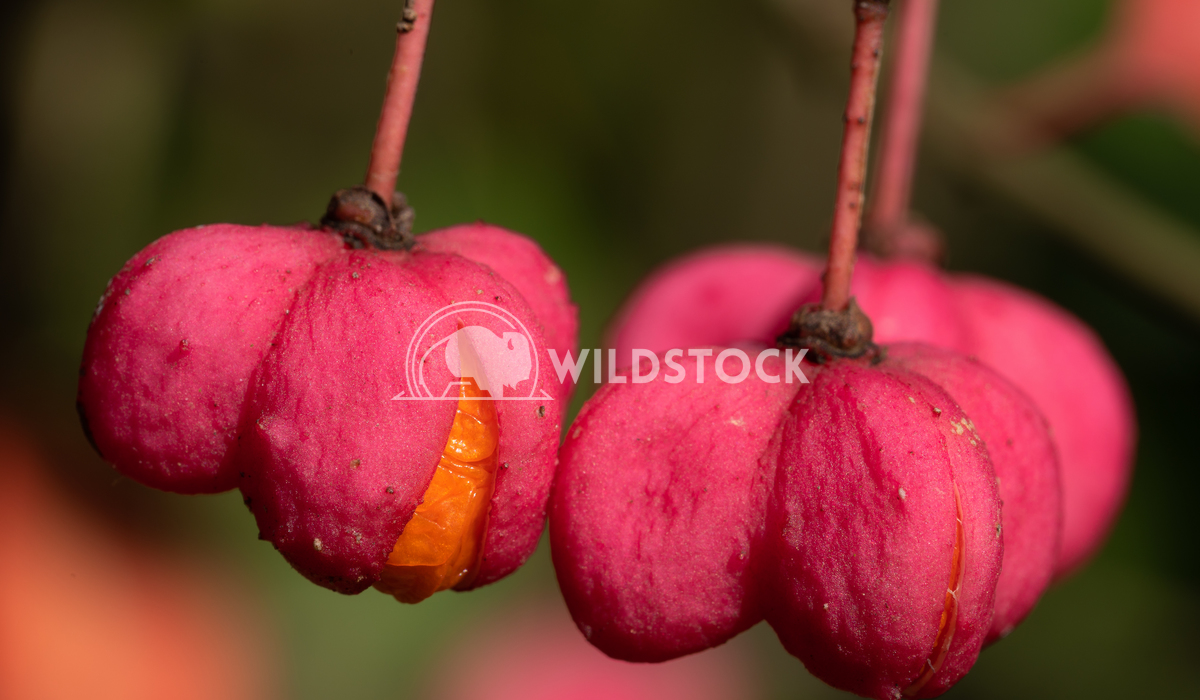 Spindle, Euonymus europaeus 1 Alexander Ludwig Spindle (Euonymus europaeus), close-up of the fruits in autumn