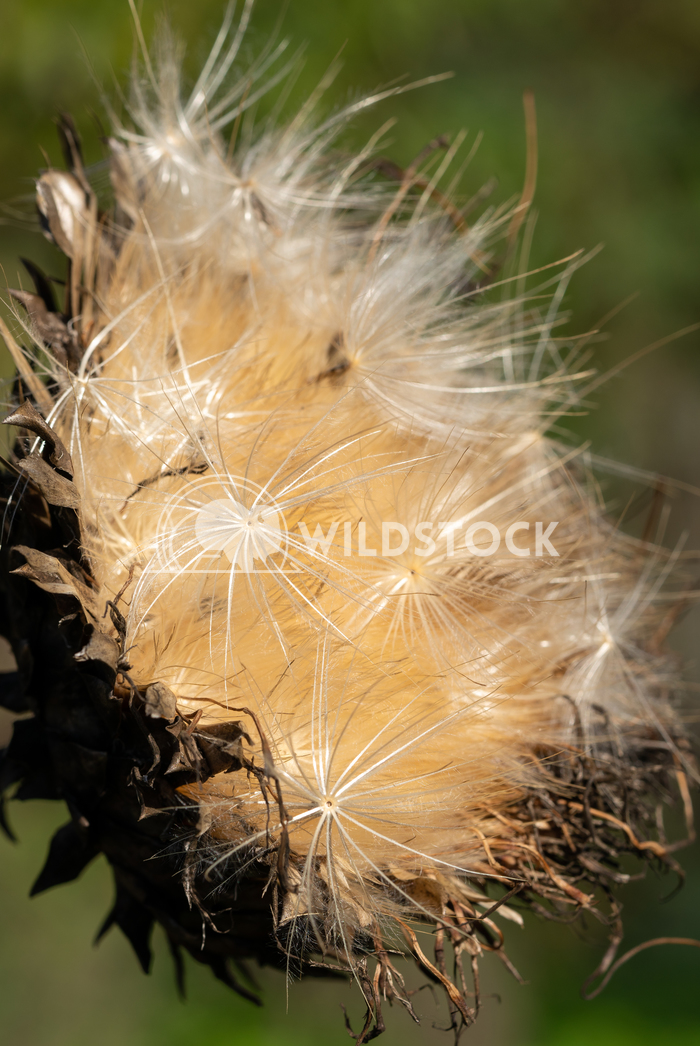 Artichoke, Cynara cardunculus 4 Alexander Ludwig Artichoke (Cynara cardunculus), withered blossom in autumn light