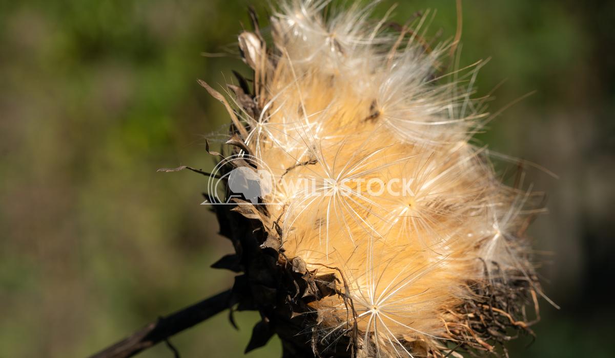 Artichoke, Cynara cardunculus 3 Alexander Ludwig Artichoke (Cynara cardunculus), withered blossom in autumn light