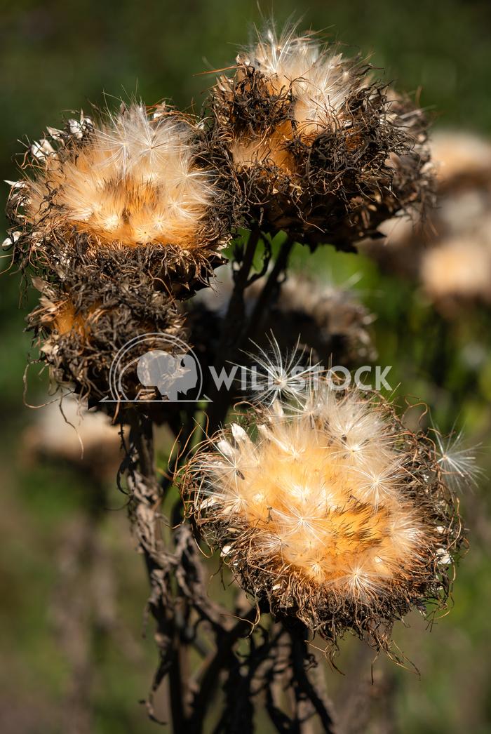 Artichoke, Cynara cardunculus 2 Alexander Ludwig Artichoke (Cynara cardunculus), withered blossom in autumn light