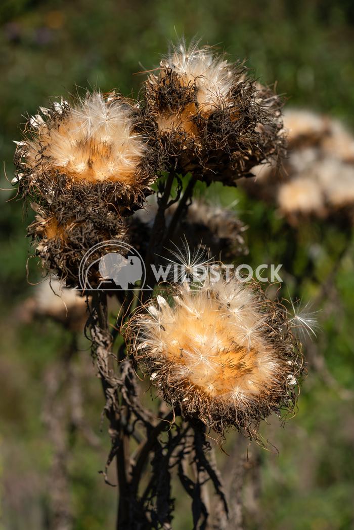 Artichoke, Cynara cardunculus 1 Alexander Ludwig Artichoke (Cynara cardunculus), withered blossom in autumn light