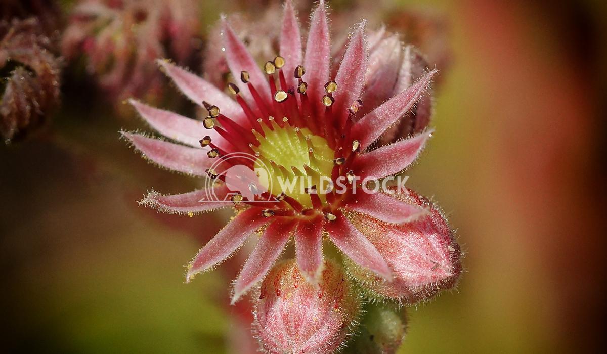 Houseleek, Sempervivum 2 Alexander Ludwig Houseleek (Sempervivum), flowers of summer