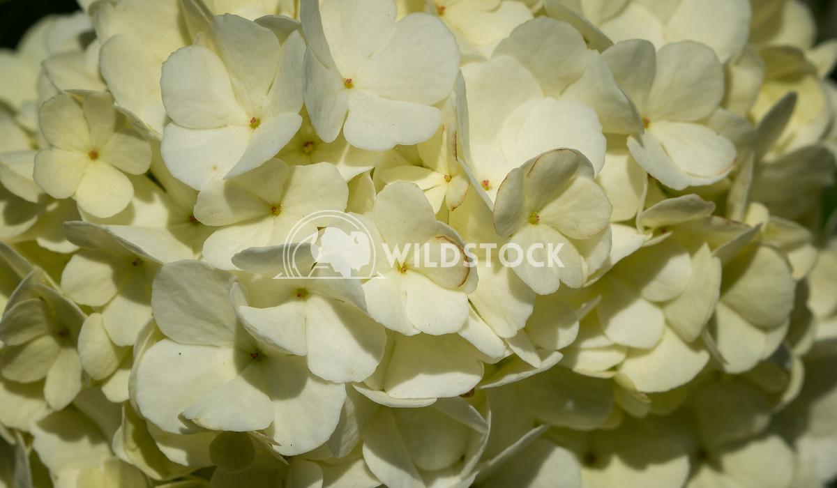Viburnum, Viburnum opulus 2 Alexander Ludwig Viburnum (Viburnum opulus), three blossoms in a triangle