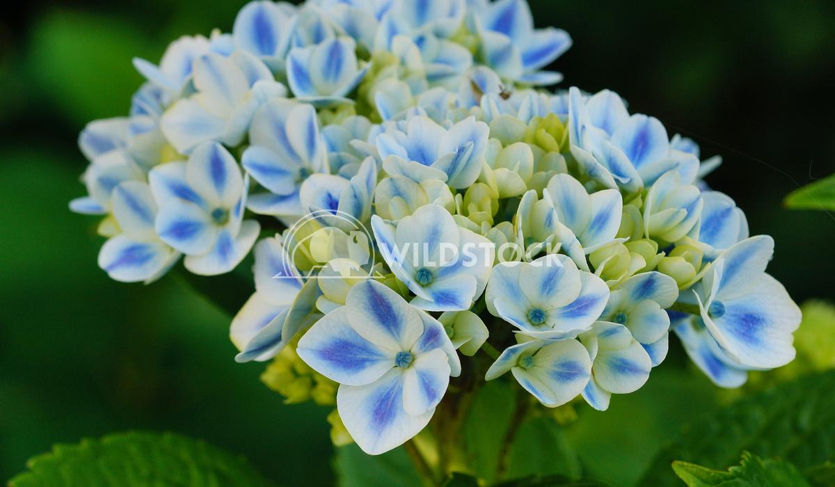 Penny mac, Hydrangea macrophylla 3 Alexander Ludwig Penny mac, Hydrangea macrophylla