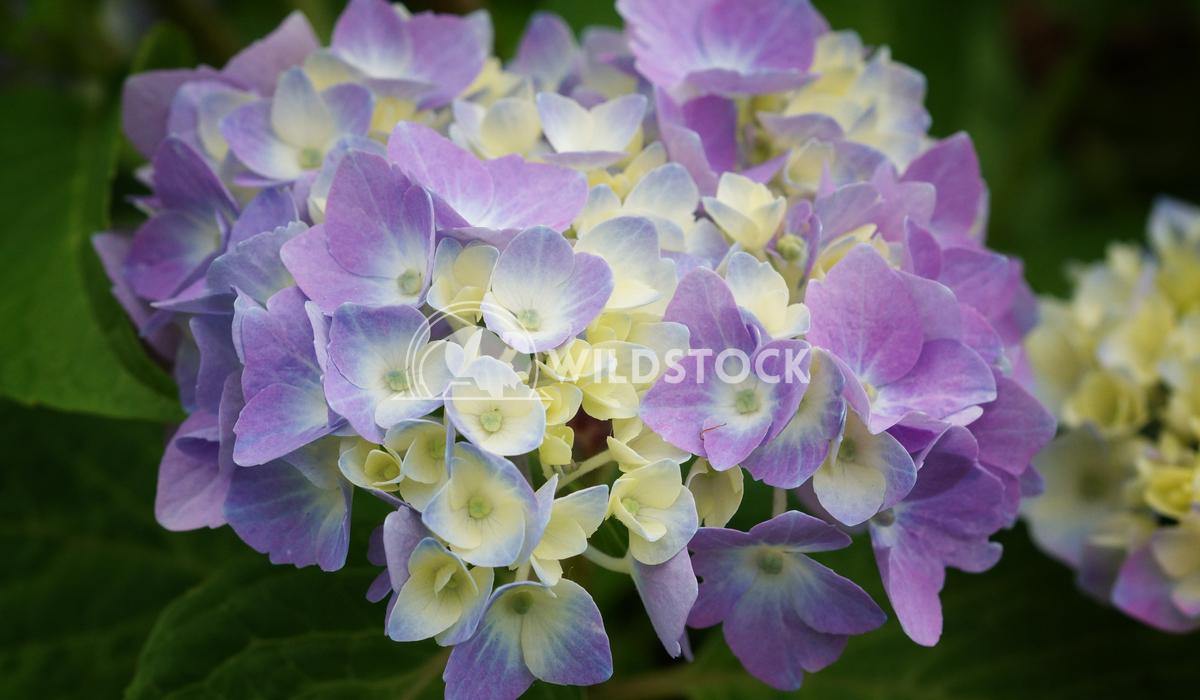 Penny mac, Hydrangea macrophylla 2 Alexander Ludwig Penny mac, Hydrangea macrophylla