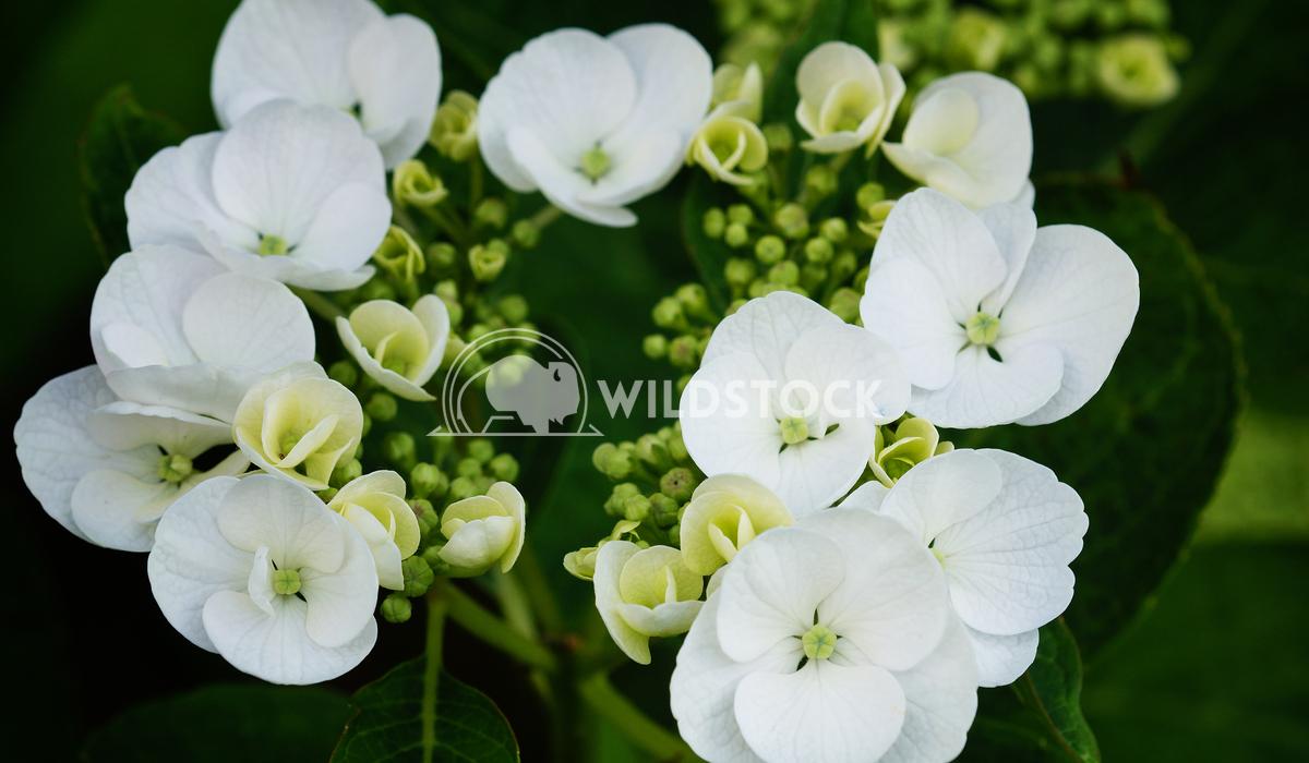 Penny mac, Hydrangea macrophylla 5 Alexander Ludwig Penny mac, Hydrangea macrophylla
