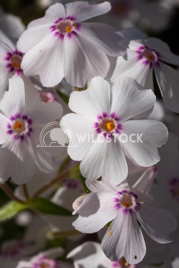 Moss Phlox, Phlox subulata 2 Alexander Ludwig Moss Phlox (Phlox subulata), flowers of summer