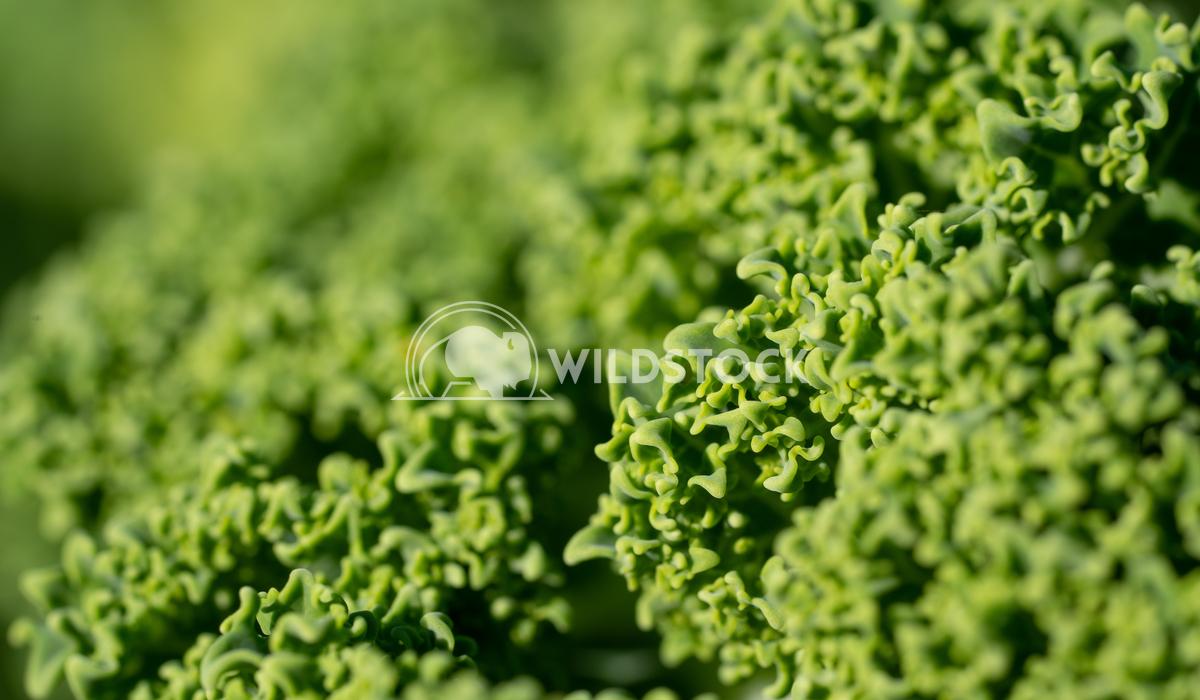 Kale, Brassica oleracea Alexander Ludwig Kale (Brassica oleracea), vegetable of wintertime