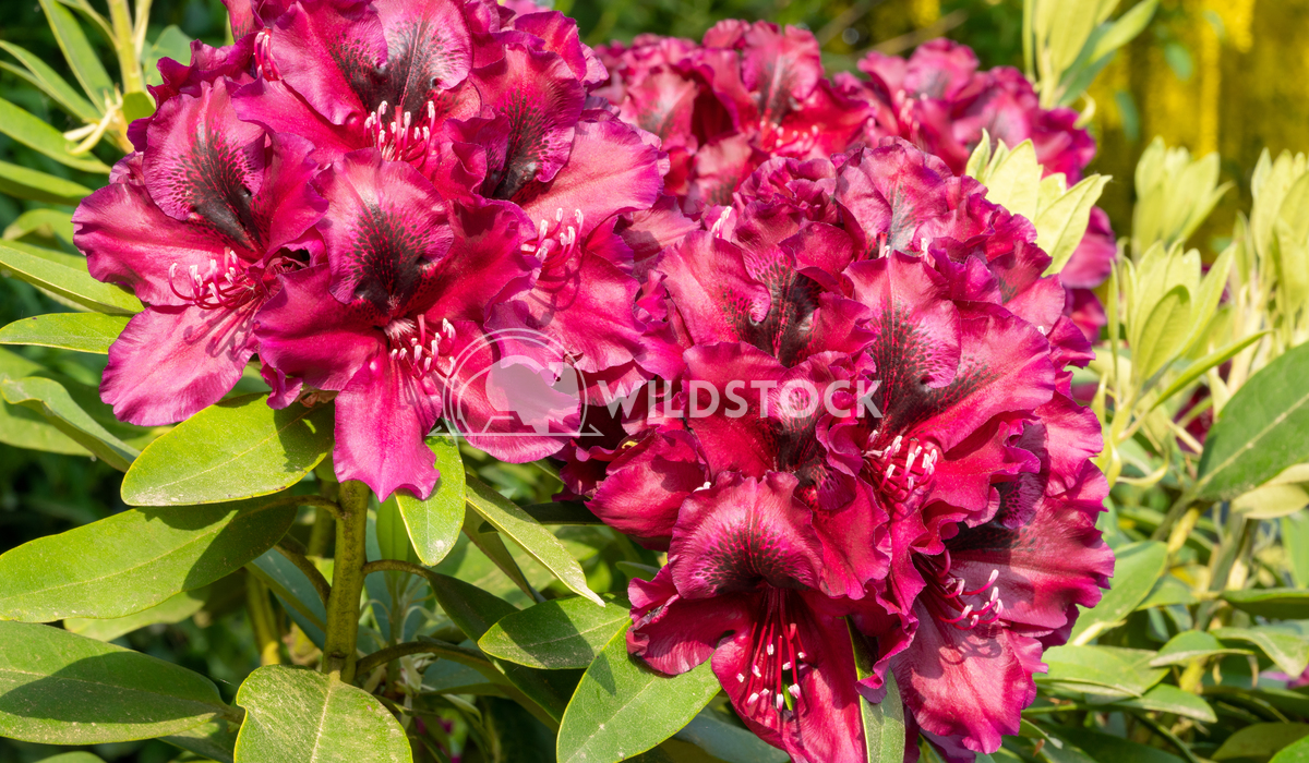 Rhododendron Hybrid Midnight Beauty Alexander Ludwig Rhododendron Hybrid Midnight Beauty (Rhododendron hybride)