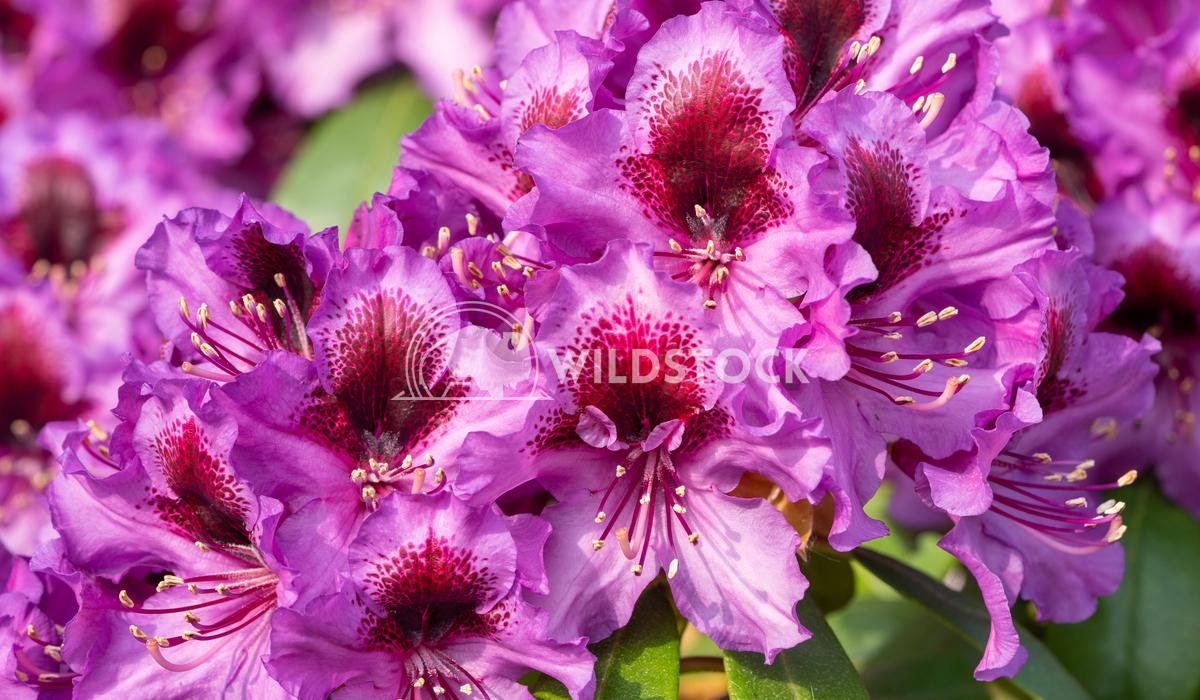 Rhododendron Hybrid Orakel 2 Alexander Ludwig Rhododendron Hybrid Orakel (Rhododendron hybride)