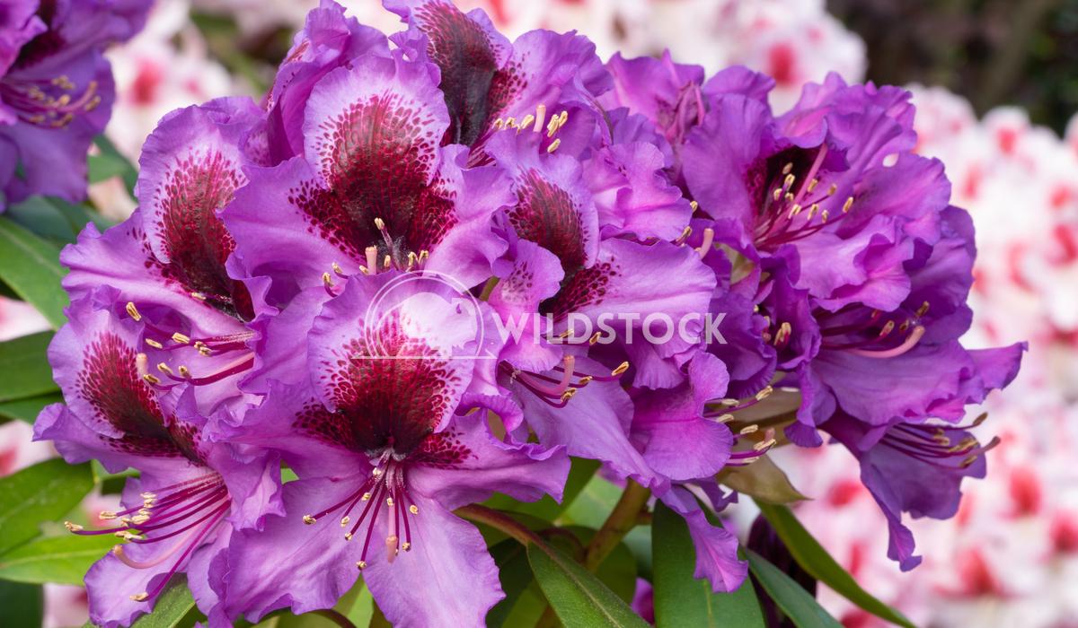 Rhododendron Hybrid Orakel 4 Alexander Ludwig Rhododendron Hybrid Orakel (Rhododendron hybride)