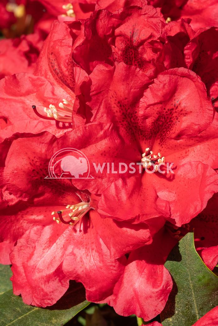 Rhododendron Hybrid Rabatz 5 Alexander Ludwig Rhododendron Hybrid Rabatz (Rhododendron hybrid)