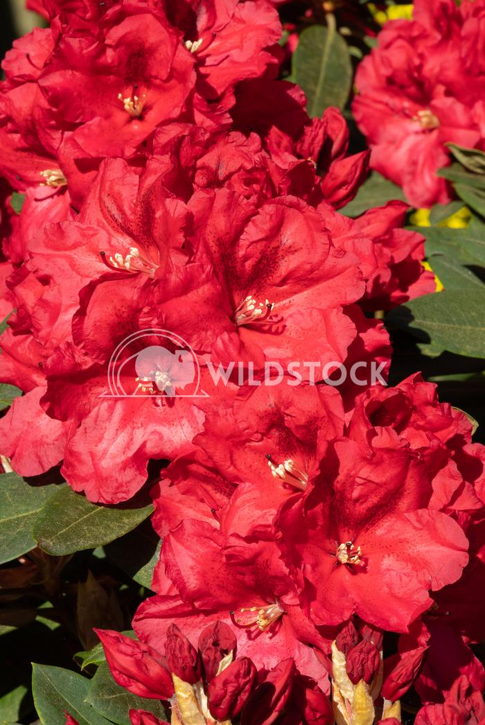 Rhododendron Hybrid Rabatz 4 Alexander Ludwig Rhododendron Hybrid Rabatz (Rhododendron hybrid)