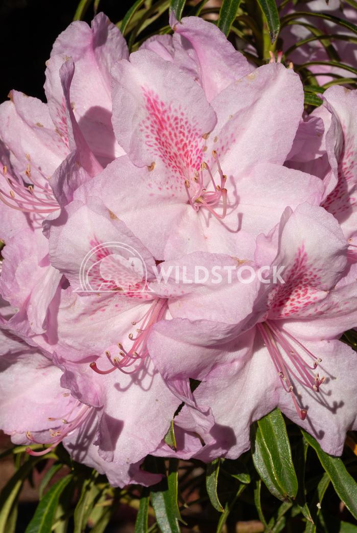 Rhododendron Ponticum Filigran Alexander Ludwig Rhododendron Ponticum Filigran (Rhododendron Ponticum)