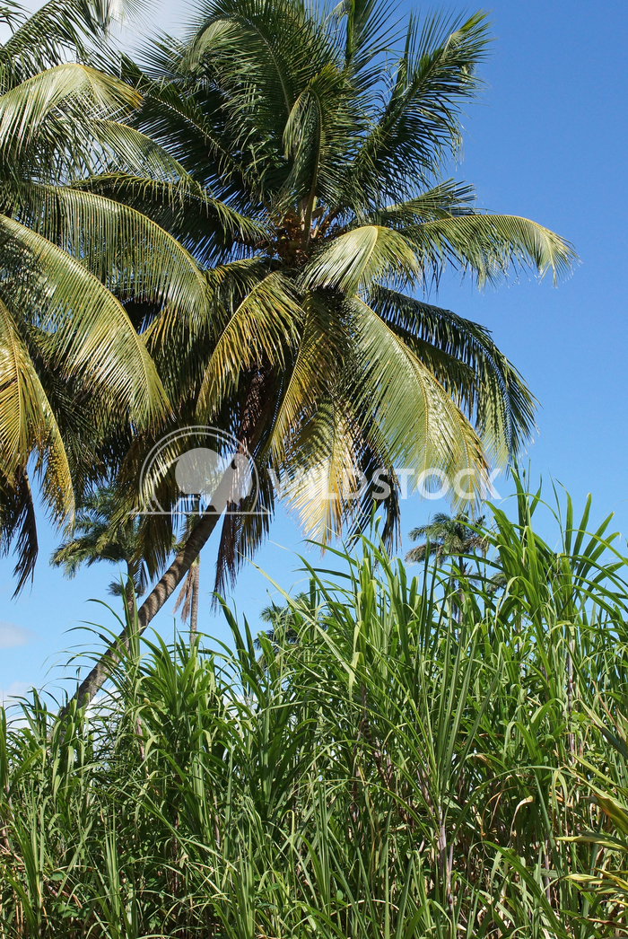 Palm Trees and Cane, Guadeloupe, Caribbean 2 Alexander Ludwig Palm Trees and Cane, Guadeloupe, Caribbean