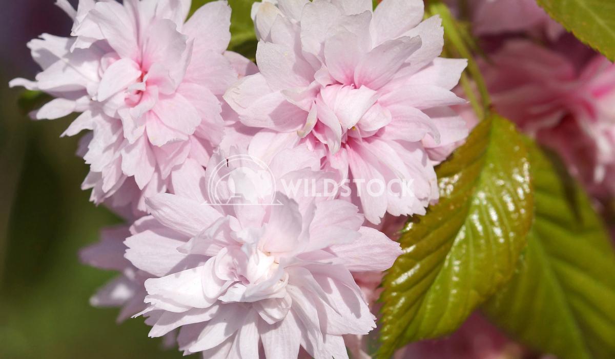 Kiku-shidare-zakura 1 Alexander Ludwig Hill Cherry, Kiku-shidare-zakura, Prunus serrulata