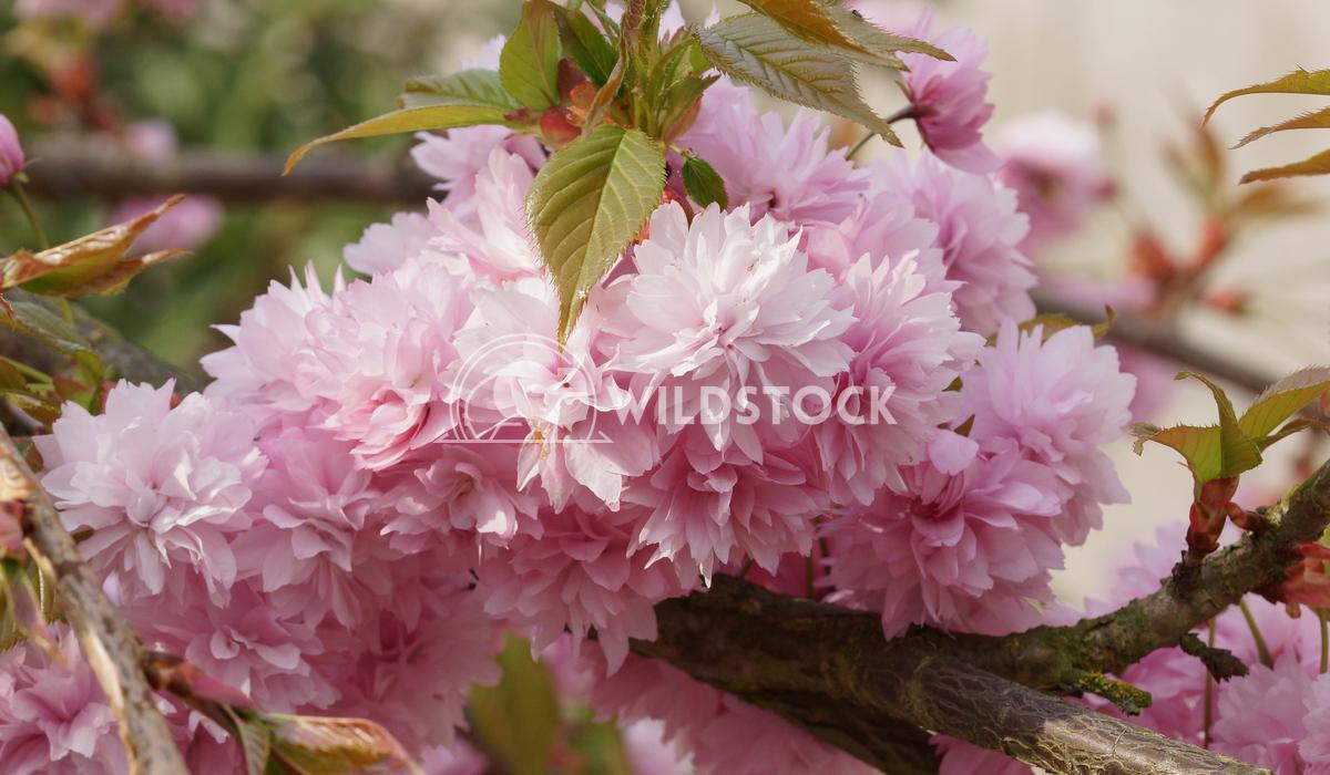 Kiku-shidare-zakura 5 Alexander Ludwig Hill Cherry, Kiku-shidare-zakura, Prunus serrulata