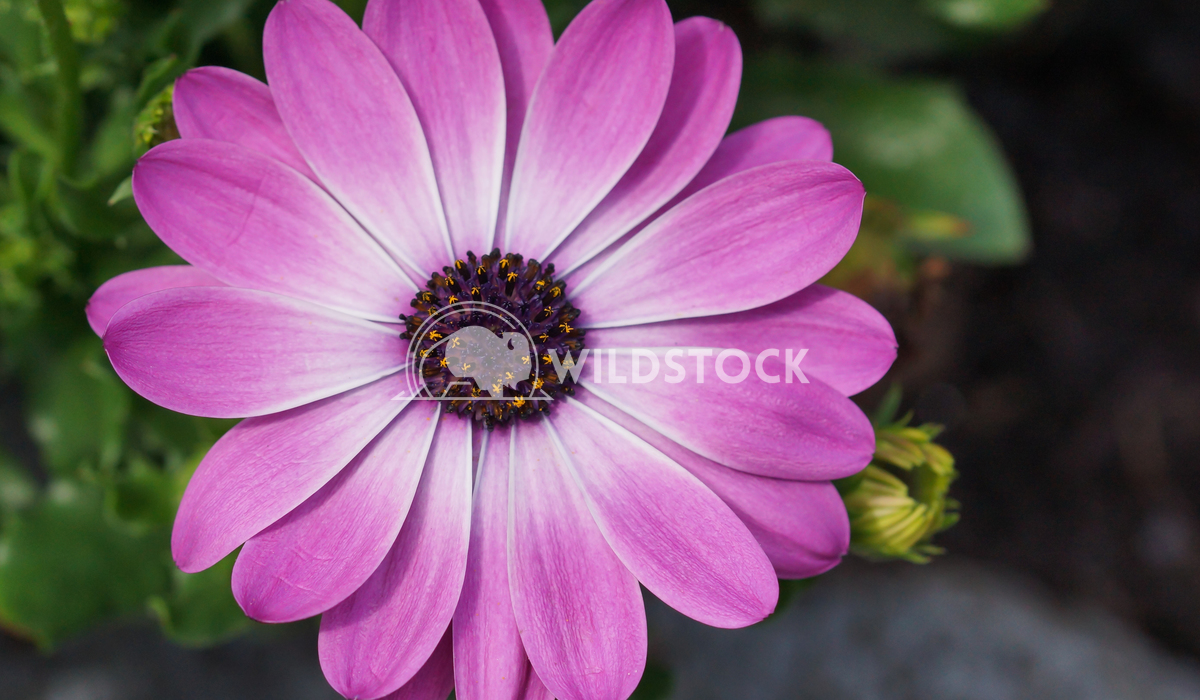 Cape daisy, Osteospermum 1 Alexander Ludwig Cape daisy, Osteospermum