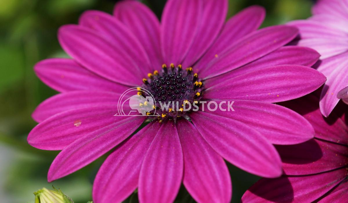 Cape daisy, Osteospermum 3 Alexander Ludwig Cape daisy, Osteospermum