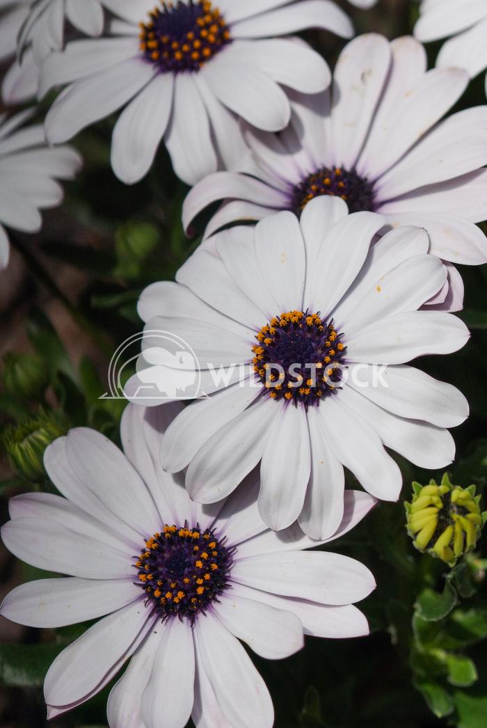 Cape daisy, Osteospermum 4 Alexander Ludwig Cape daisy, Osteospermum