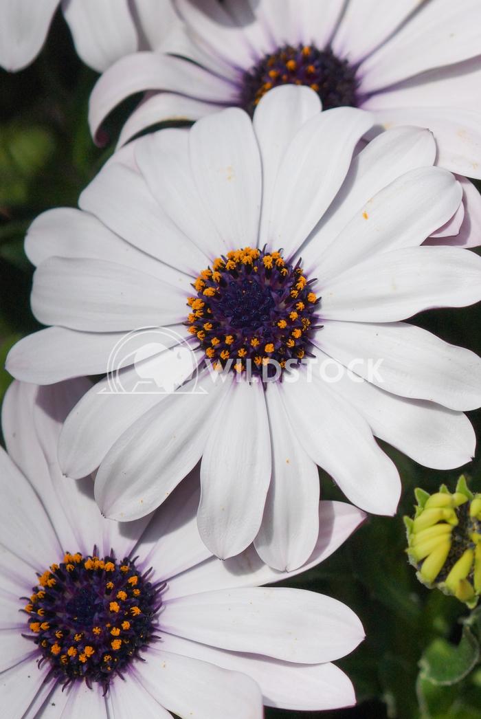 Cape daisy, Osteospermum 5 Alexander Ludwig Cape daisy, Osteospermum