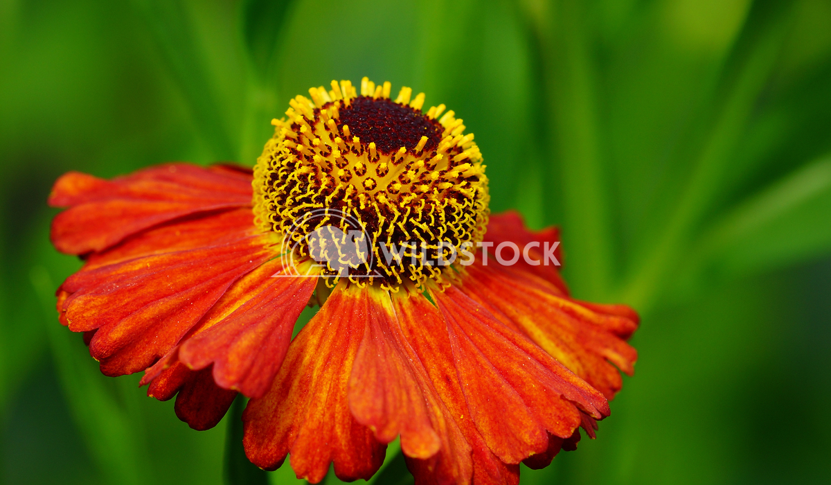 Helens Flower, Helenium 1 Alexander Ludwig Helens Flower (Helenium), flowers of summertime