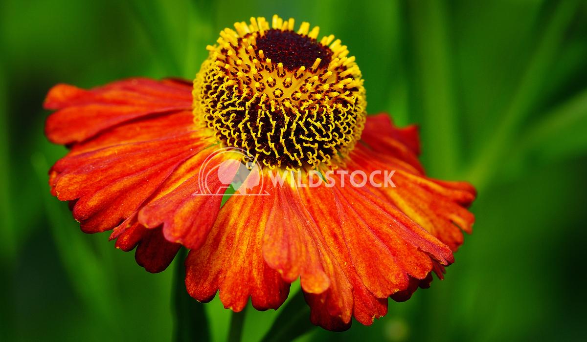 Helens Flower, Helenium 2 Alexander Ludwig Helens Flower (Helenium), flowers of summertime