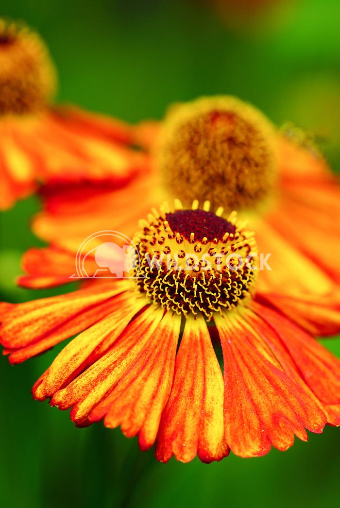 Helens Flower, Helenium 5 Alexander Ludwig Helens Flower (Helenium), flowers of summertime