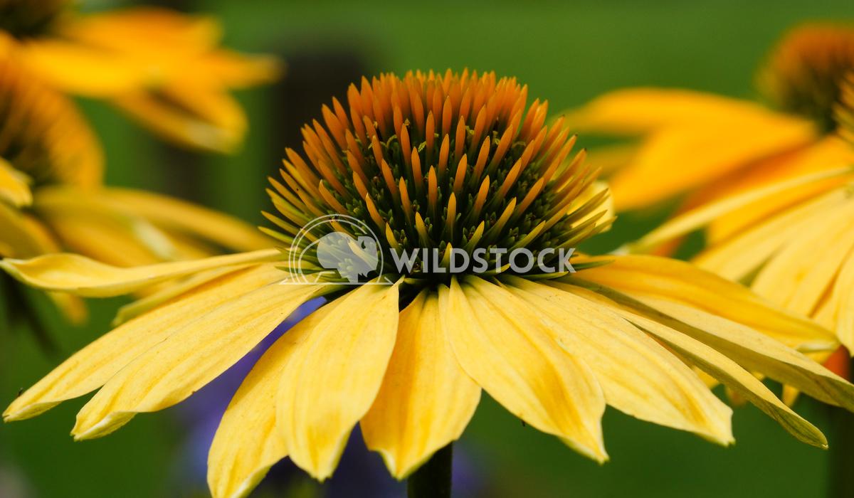 Coneflower, Echinacea purpurea 1 Alexander Ludwig Coneflower (Echinacea purpurea), flowers of summer