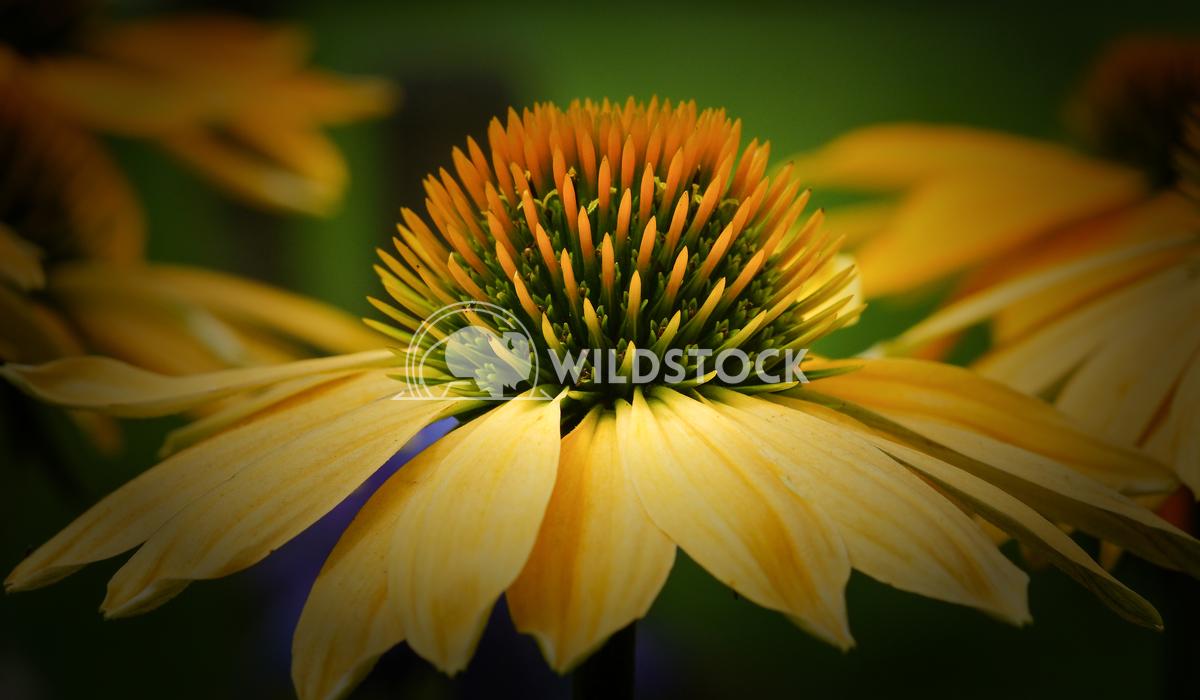 Coneflower, Echinacea purpurea 2 Alexander Ludwig Coneflower (Echinacea purpurea), flowers of summer