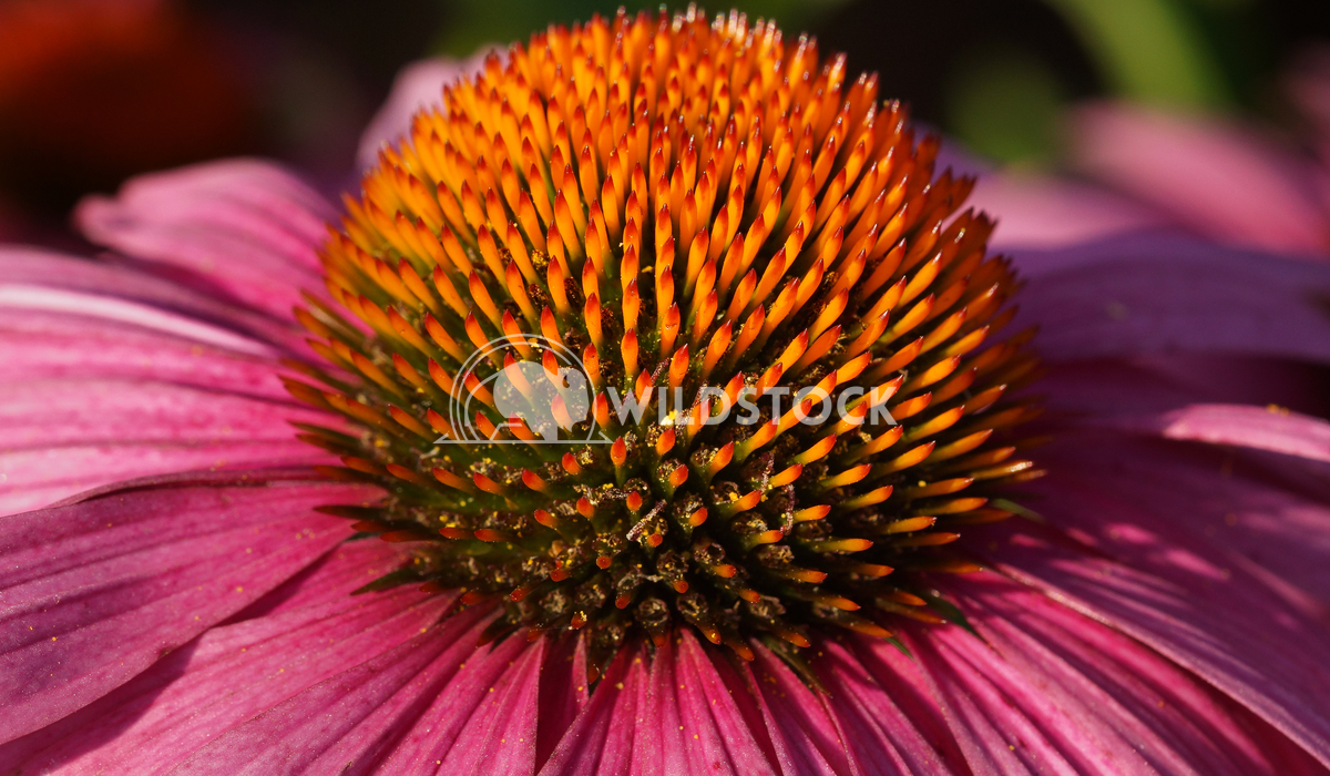 Coneflower, Echinacea purpurea 3 Alexander Ludwig Coneflower (Echinacea purpurea), flowers of summer