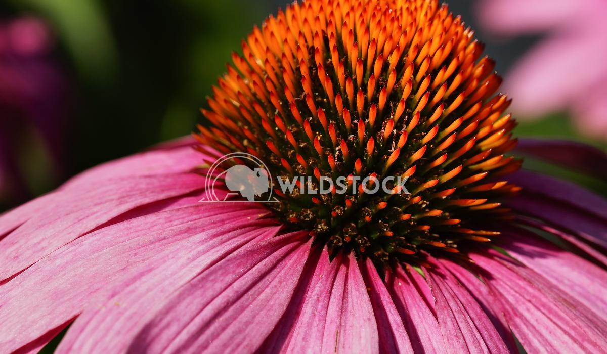 Coneflower, Echinacea purpurea 5 Alexander Ludwig Coneflower (Echinacea purpurea), flowers of summer