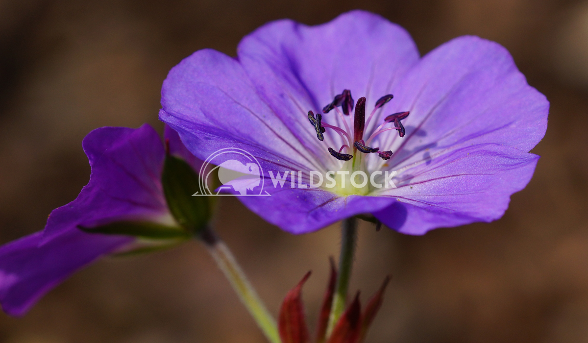 Cranesbill, Geranium cinereum 1 Alexander Ludwig Ashy Cranesbill (Geranium cinereum), flowers of summer