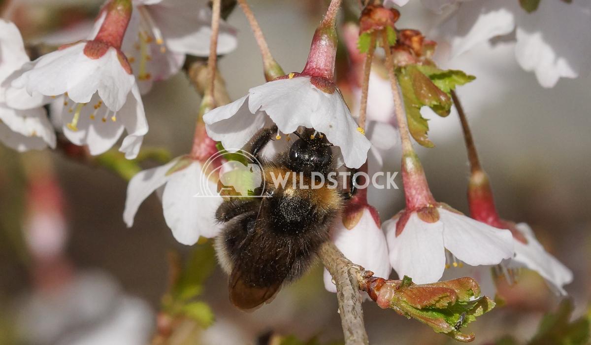 Kojou-no-mai 1 Alexander Ludwig Cherry blossom Kojou-no-mai