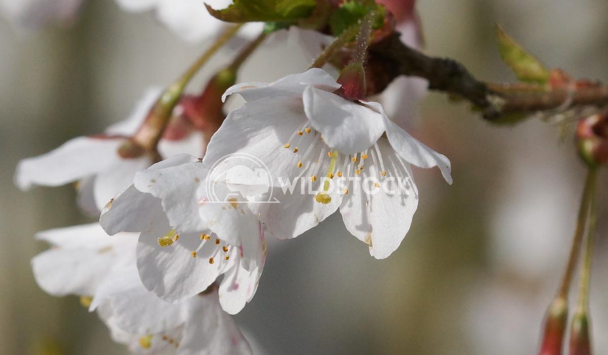 Kojou-no-mai 2 Alexander Ludwig Cherry blossom Kojou-no-mai