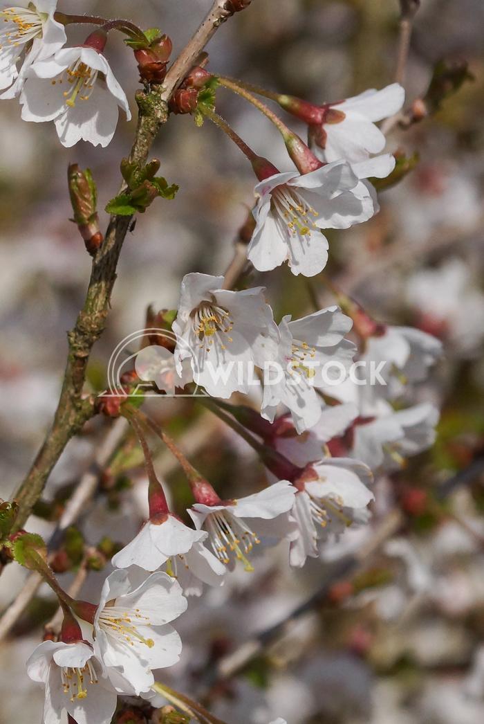 Kojou-no-mai 4 Alexander Ludwig Cherry blossom Kojou-no-mai