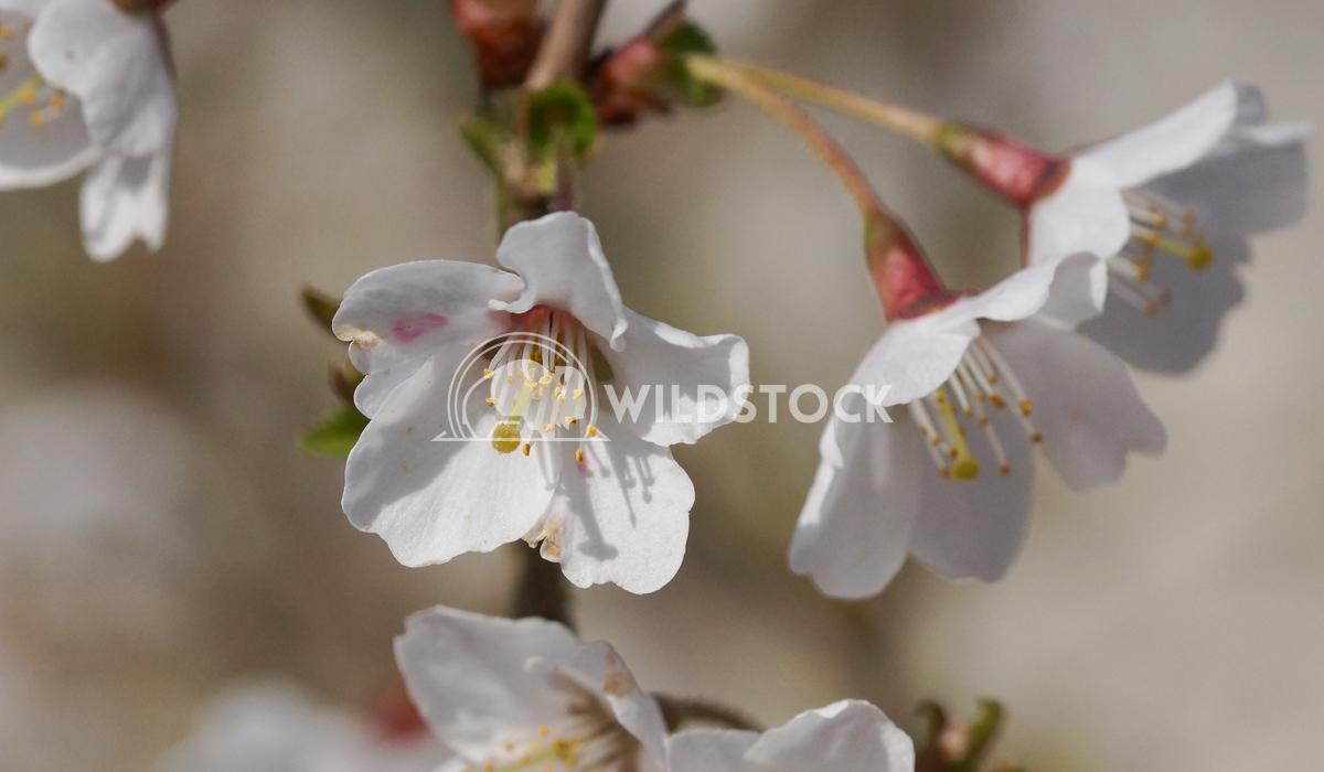 Kojou-no-mai 6 Alexander Ludwig Cherry blossom Kojou-no-mai