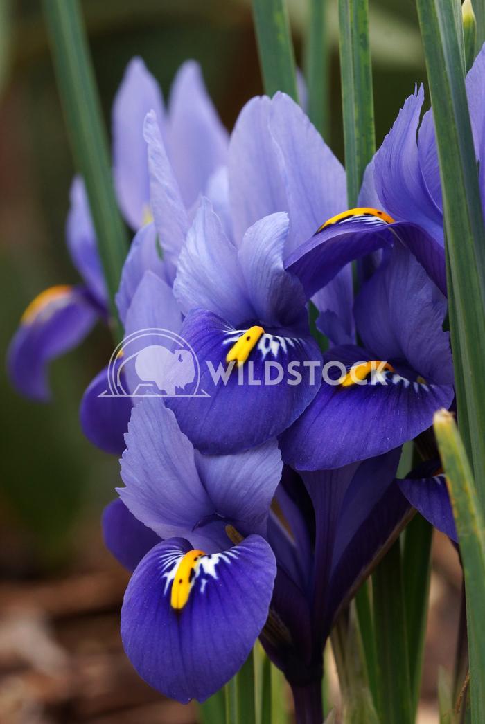 Dwarf beardless iris 3 Alexander Ludwig Dwarf beardless iris, flowers of the spring
