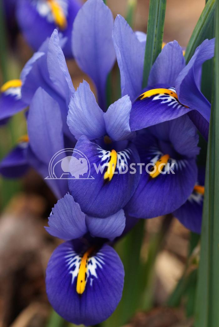 Dwarf beardless iris 2 Alexander Ludwig Dwarf beardless iris, flowers of the spring