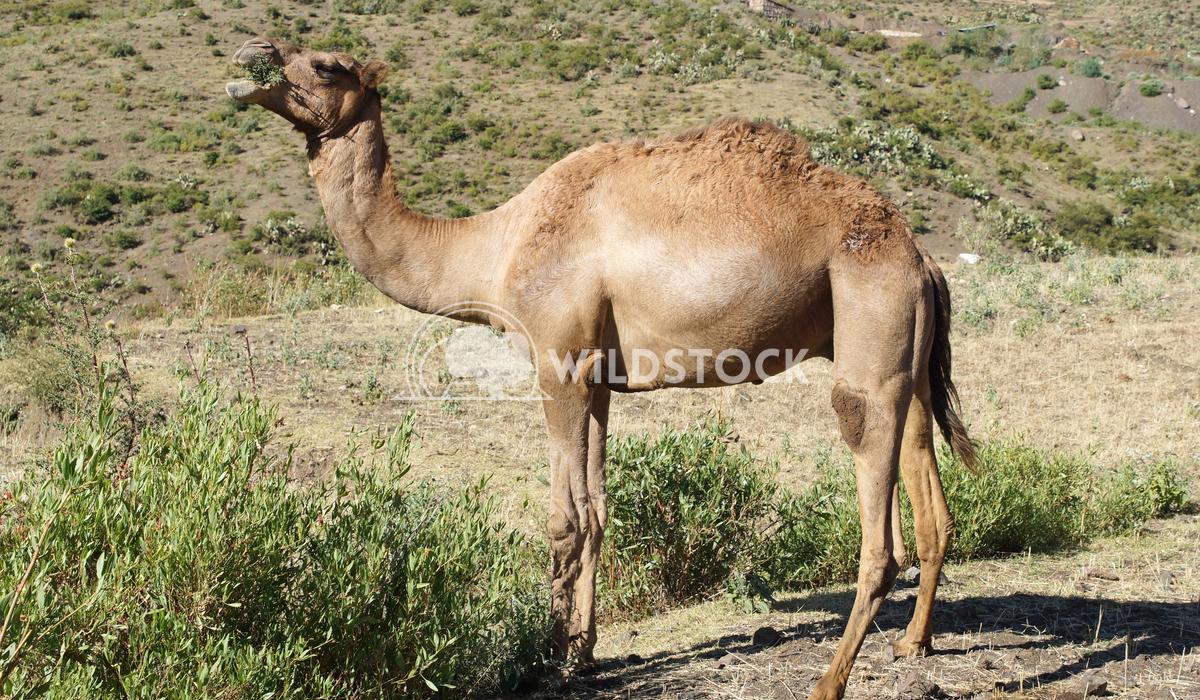 Camel, Ethiopia, Africa  1 Alexander Ludwig Arabian camel, Ethiopia, Africa