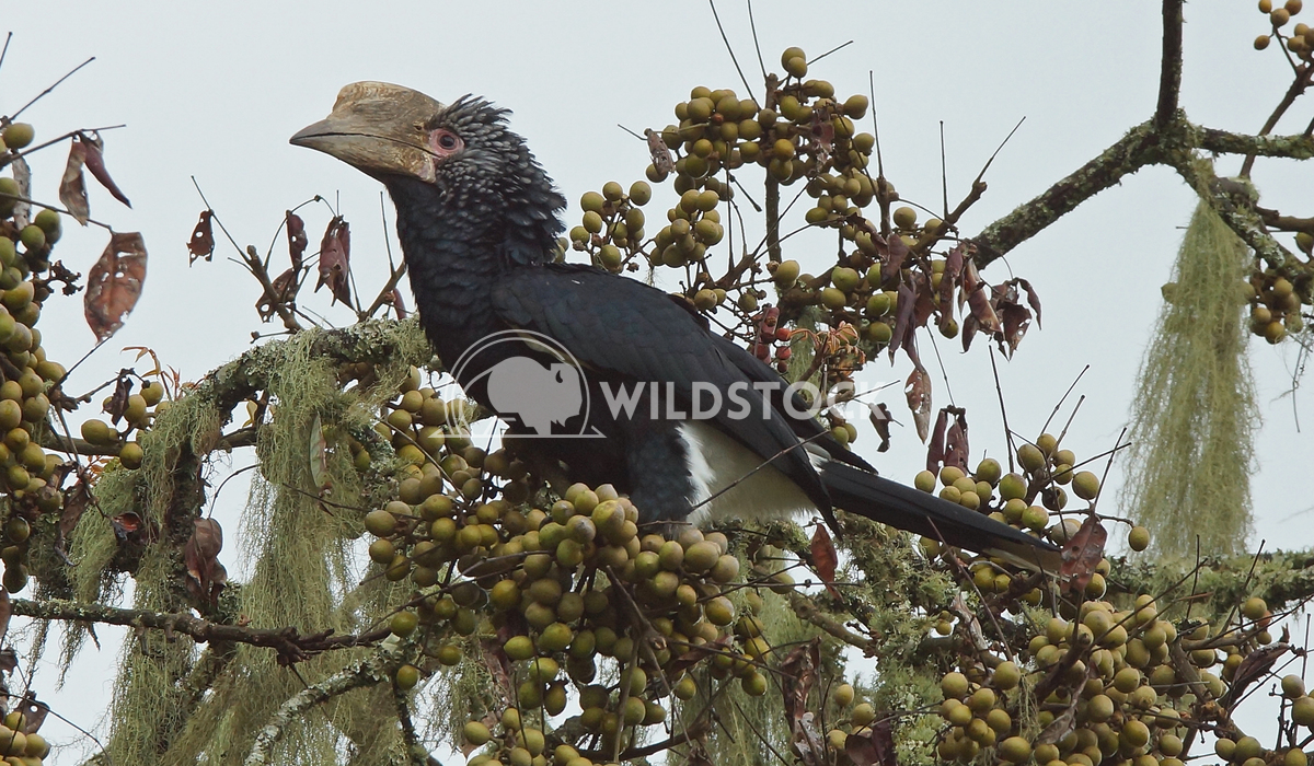 Hornbill, Great Rift Valley, Ethiopia, Africa Alexander Ludwig Silvery-cheeked Hornbill on a fig tree, Great Rift Valley