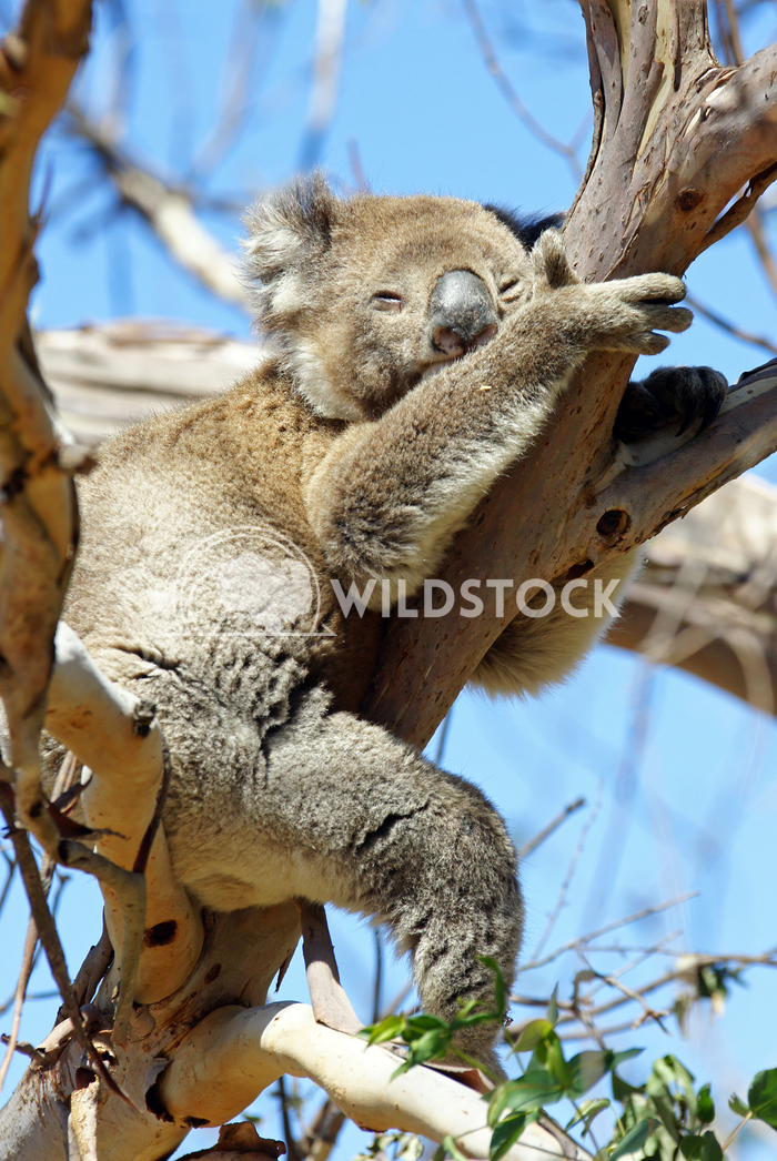 Koala (Phascolarctos cinereus) 3 Alexander Ludwig Koala (Phascolarctos cinereus) in a Blue Gum Tree, photo was taken in