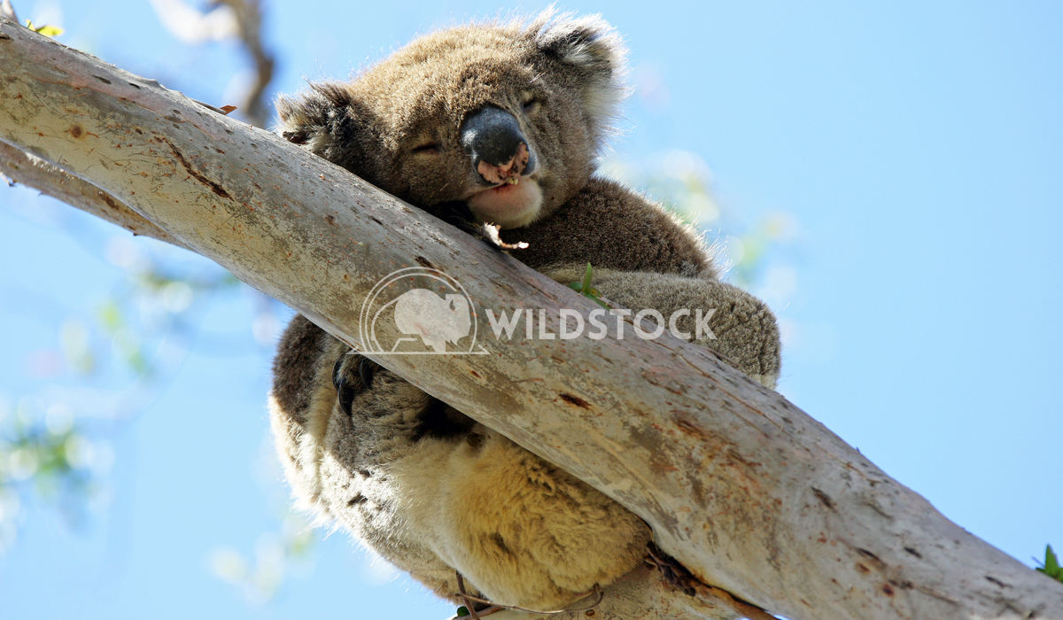 Koala (Phascolarctos cinereus) 5 Alexander Ludwig Koala (Phascolarctos cinereus) in a Blue Gum Tree, photo was taken in
