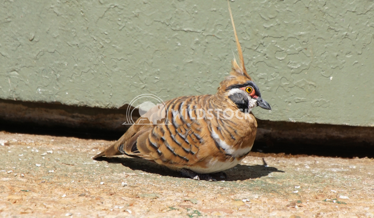 Spinifex Pigeon, Australia Alexander Ludwig Spinifex Pigeon, Northern Territory, Australia