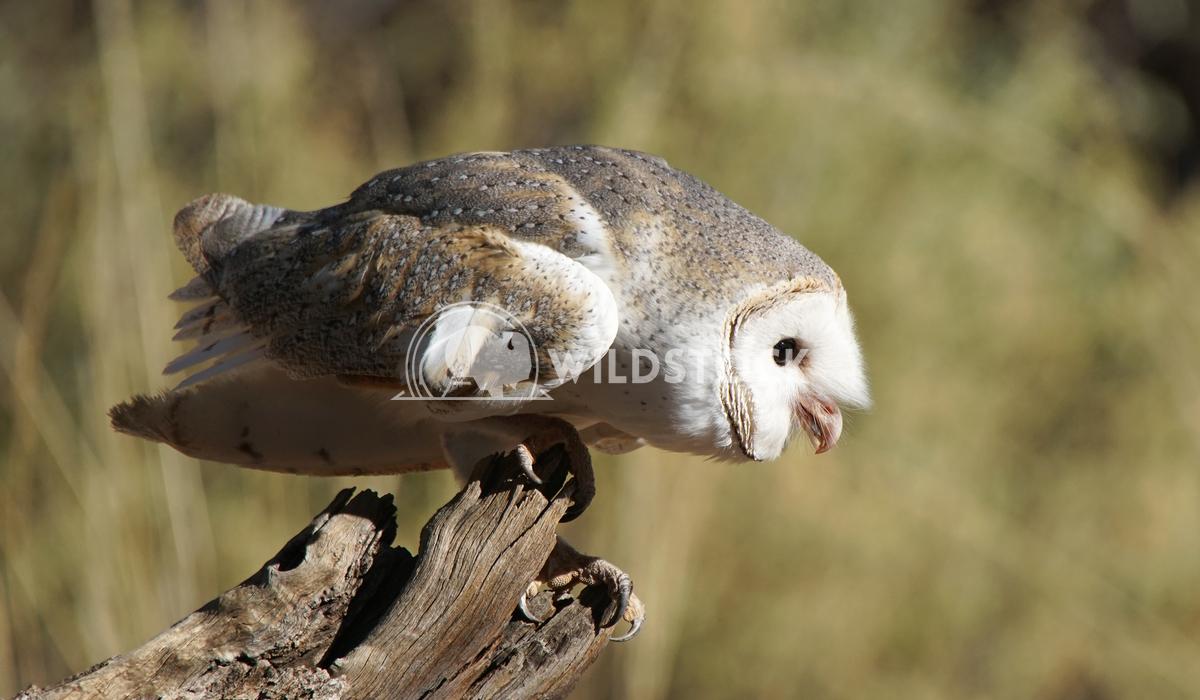 Barn Owl, Australia 2 Alexander Ludwig Australian barn owl, Northern Territory, Australia